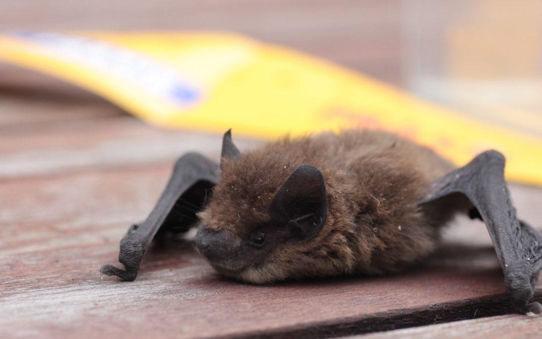 Vleermuizen gered uit de Parkzichtflat